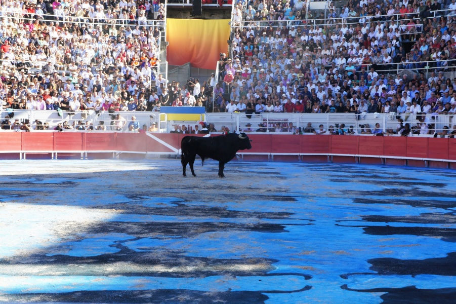 the bull arrives. photo Ena Swansea